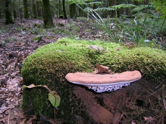 Le Ganoderme aplani (Ganoderma lipsiense) produit une sporée brune particulièrement abondante