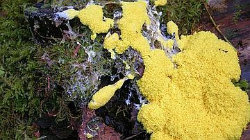 Les myxomycètes, qui ne font plus partie des champignons, sont toujours étudiés par les mycologues (ici la Fleur de tan)