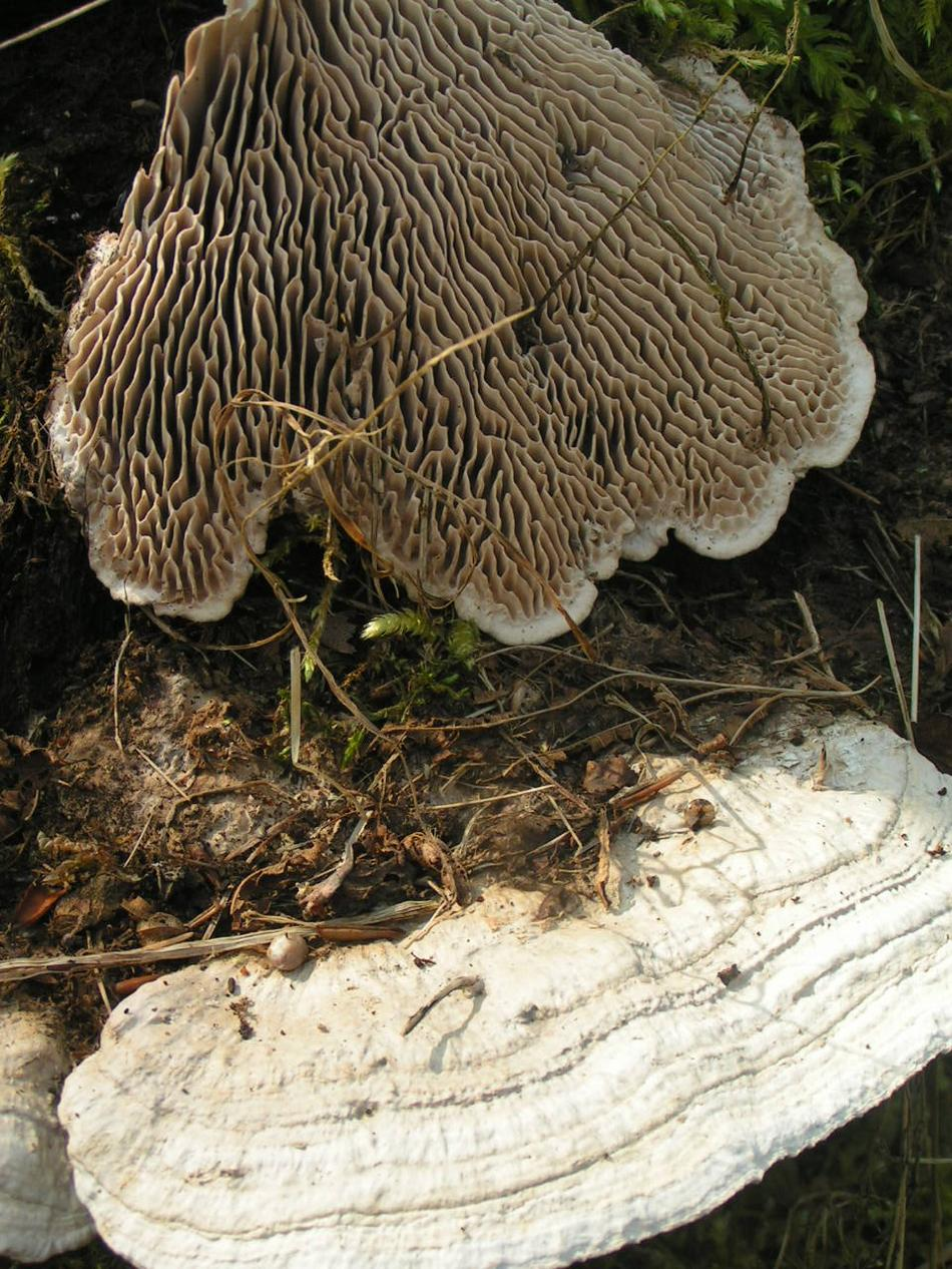 Onf fiche champignon lenzite du ch ne - Champignon qui pousse sur les arbres ...