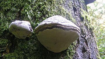 L'Amadouvier (Fomes fomentarius) possède une fructification en console qui peut persister plusieurs dizaines d'années
