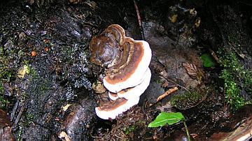 Heterobasidion annosum, le « fomès des forestiers » pourrit le bois de cœur de l'épicéa et peut entraîner des mortalités chez le pin maritime