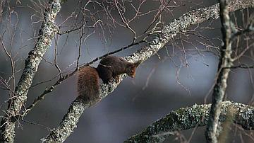 L'écureuil est un voltigeur sans filet hors-pair