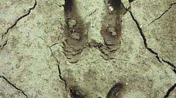 Dans la boue, les gardes de l'empreinte du sanglier sont très marquées