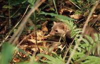 Les crottes de carnivores sont difficiles à trouver, par exemple celles de cette jeune martre