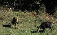 Les chamois quittent la lisière pour venir brouter une prairie