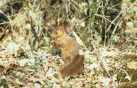 L'écureuil sait dissimuler ses réserves sous un tapis de feuilles