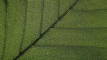 Grâce à la chlorophylle, les feuilles captent l'énergie solaire