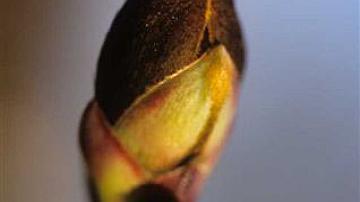 Après l'hiver, le bourgeon dépense ses réserves et s'ouvre