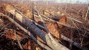 Chablis de hêtre après les tempêtes de 1999 en forêt domaniale de Haye (Meurthe-et-Moselle)