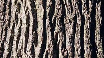 L'écorce du chêne sessile présente des rides profondes