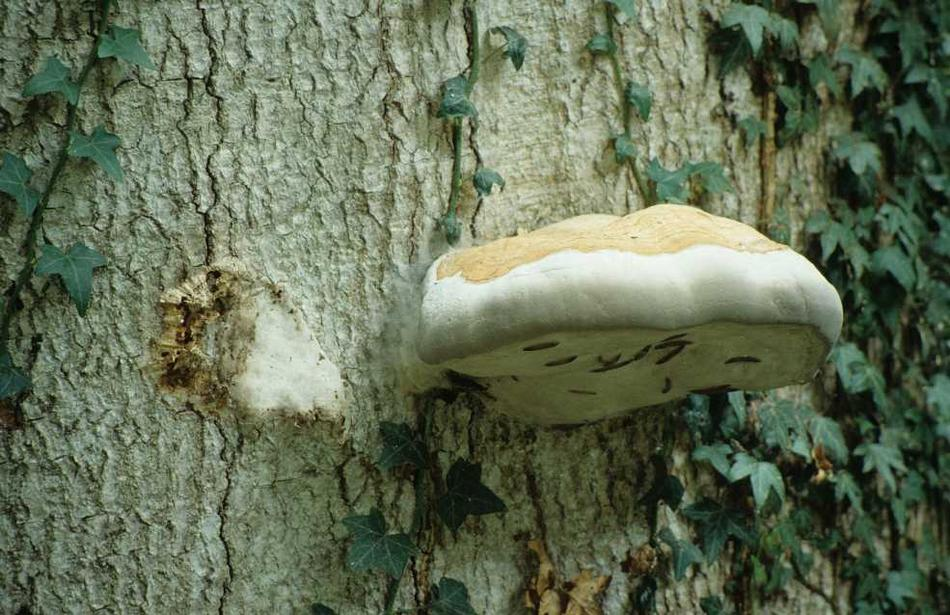Onf l 39 corce animation - Champignon sur tronc d arbre ...