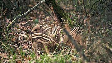 Ces petits marcassins sont très jolis et bons pour les dents de renards, mais leur mère les surveille !