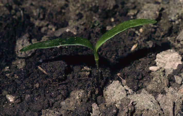 Semis d'érable sycomore