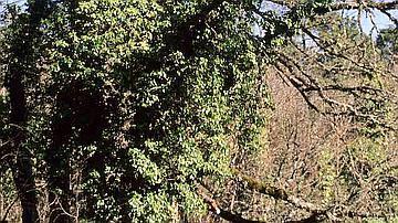 En hiver le lierre reste vert, en voilà un qui s'est bien installé sur un chêne !