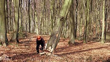 Après l'entaille finale, l'arbre bascule dans la direction voulue par le bûcheron
