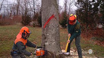 Travailler à deux permet de mieux contrôler la chute de l'arbre. L'insertion d'un coin renforce la direction de chute