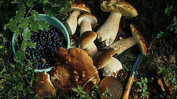 Avec la cueillette, la saveur de la forêt s'invite dans la cuisine. Ici, cèpes et myrtilles