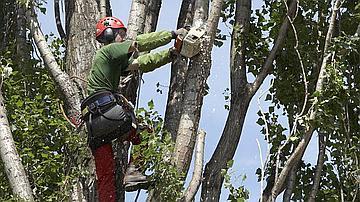 Rien n'est laissé au au hasard, le harnachement du grimpeur comme la maniabilité de la tronçonneuse