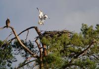 Balbuzard en vol à l'approche de son nid