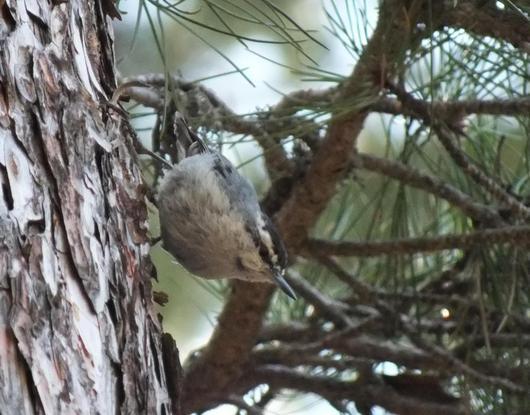 Une Sittelle de Corse sur le tronc d'un pin Laricio