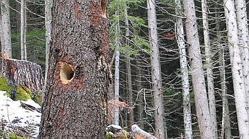 Un arbre mort à cavités, préservé pour la biodiversité