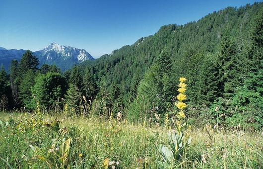 La Grande Chartreuse se caractérise par son mélange de résineux et de feuillus, ses falaises calcaires et ses pâturages d'altitude