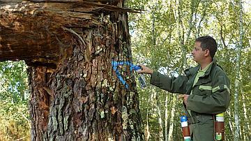 """Un vieux pin creux marqué d'un triangle pour être conservé en tant """"qu'arbre bio"""