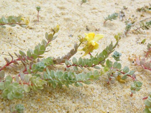Une Linaire à feuilles de thym, typique des milieux dunaires