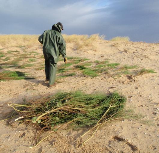 Le sable est couvert de genêts