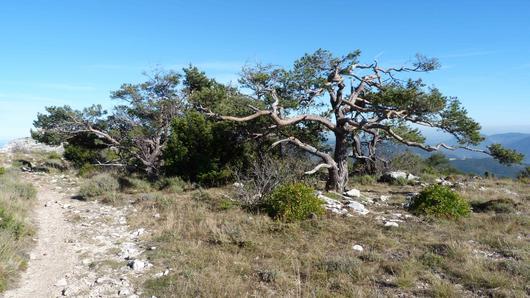 Un pin déperisasnt à côté d'un chemin