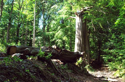 Un arbre mort dont la partie supérieur est tombée à terre
