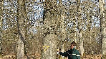 Un forestier en train d'apposer un triangle à la peinture jaune sur un arbre pour signaler qu'il est volontaorement conervé pour la biodiversité