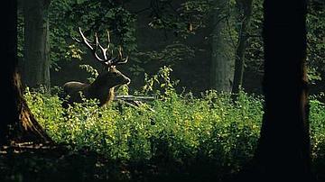 La chasse permet de réguler l'impact des populations de cerfs sur la forêt