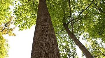 La forêt comporte de très nombreux chênes exceptionnels