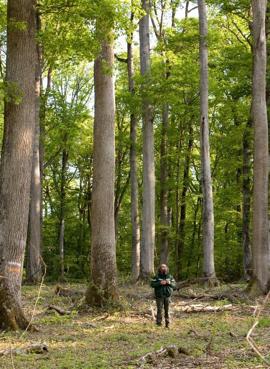 Ces chênes majestueux font la réputation de Tronçais