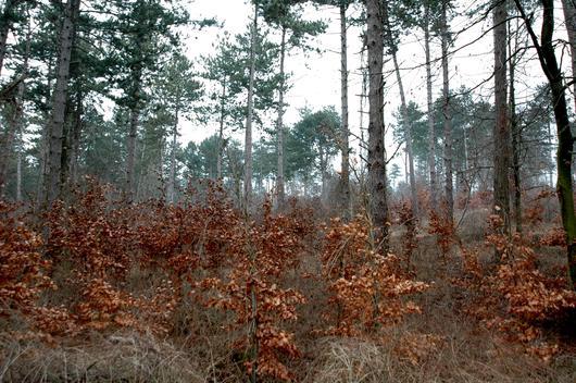 Les jeunes hêtres s'installent sous le couvert des pins