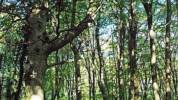La réserve biologique intégrale abrite des arbres reliques de la forêt ancienne