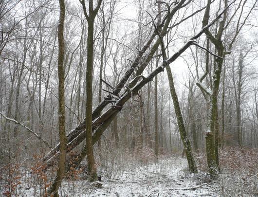 Ces deux arbres servaient de support à une plateforme d'observation allemande