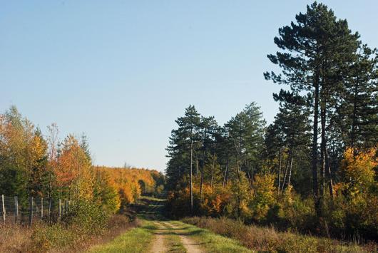 Les jeunes peuplements feuillus (à gauche) succèdent aux pins noirs