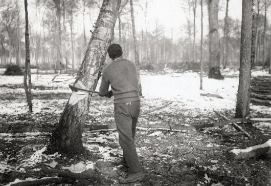 Illustration d'un bûcheron maori, vu de dos, en forêt de Nieppe en train de couper un arbre