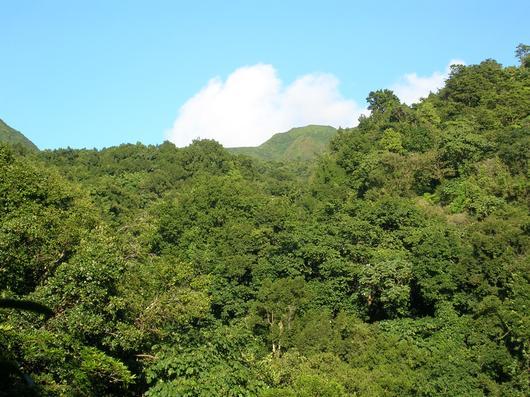 """La forêt départementalo-domaniale est l'écosystème forestier le plus important de l'île et son """"chateau d'eau"""" qui fournit l'eau potable et d'irrigation de la Guadeloupe"""