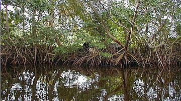 La mangrove participe à la protection des rivages en cas de phénomène cyclonique