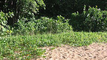 A proximité de la mer se développent des espèces végétales qui participent à la stabilité du substrat et favorisent la ponte des tortues