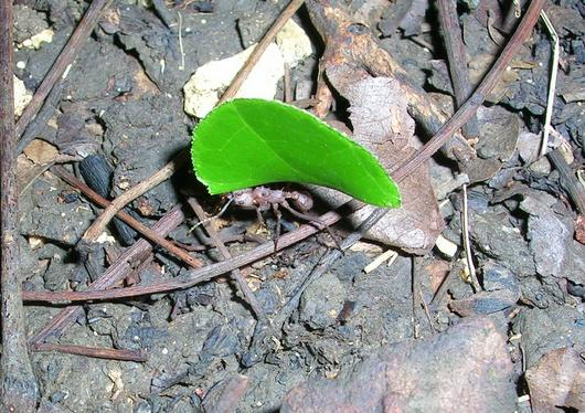 La fourmi manioc (Acromyrmex octospinosus) est une espèce défoliatrice qui provoque des dégâts importants en forêt et dans les cultures