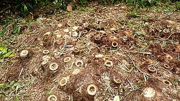 Souche de bambou