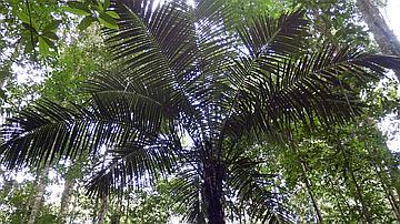 Un palmier en forêt