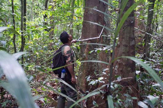 Un ouvrier forestier mesure le diamètre d'un arbre à l'aide d'un compas forestier