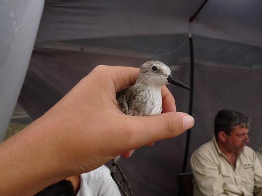 Séance de baguage du Bécasseau semipalmé à Awala avec la NJAS (New Jersey Audubon Society)