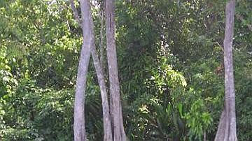 La state arborescente de la forêt marécageuse est dominée par le Pterocarpus officinalis, espèce monospécifique appelée localement Mangle médaille