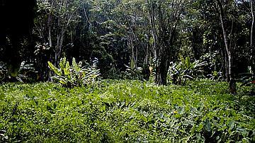 Flore de la forêt marécageuse : Le Madère, tubercule qui constitue un aliment de base aux Antilles, pousse dans les parties humides de la forêt marécageuse